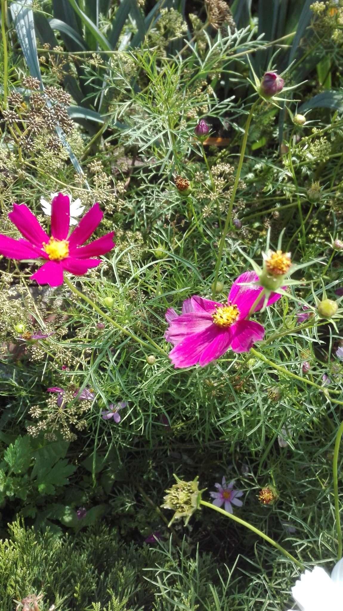 IMG 20170817 155442 - Rośliny roczne - spis roślin