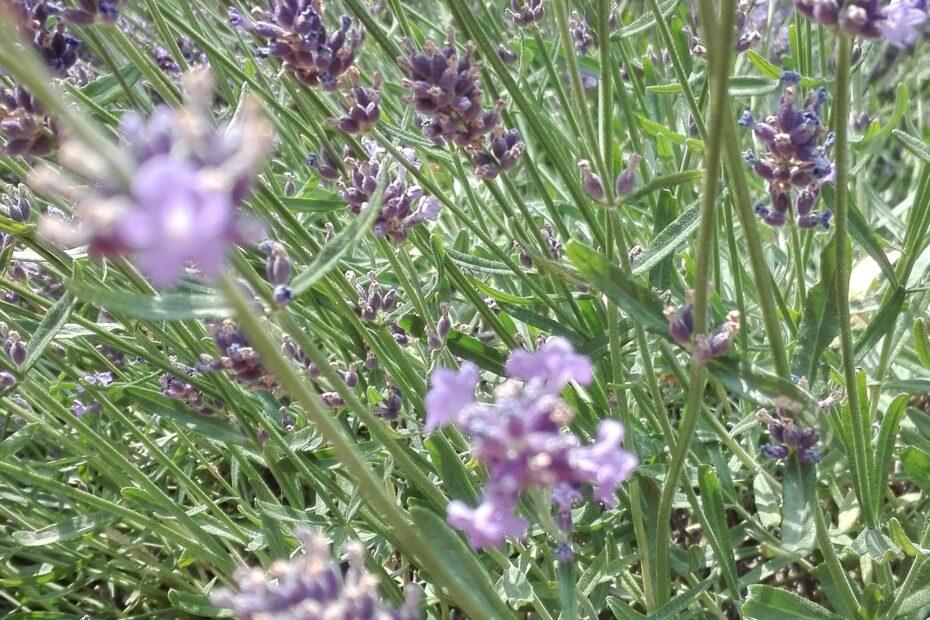 IMG 20180621 142140 930x620 - Top 5 roślin do ogrodu z małymi wymaganiami
