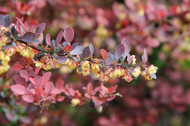 barbary 3354481 640 - Top 5 roślin doogrodu zmałymi wymaganiami