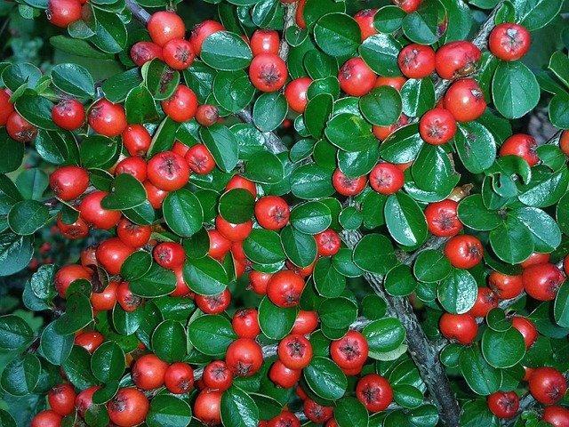 cotoneaster 438353 640 - Top 5 roślin doogrodu zmałymi wymaganiami